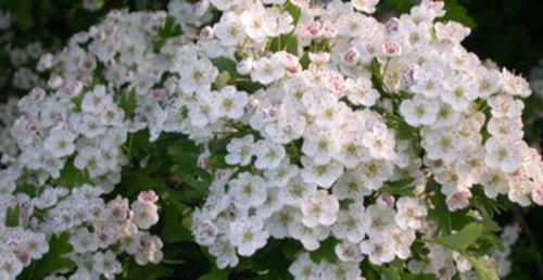 Hawthorneflower372_2